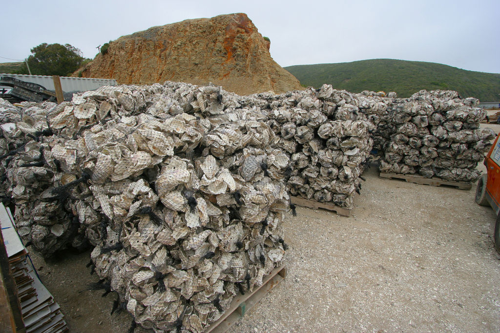 Oyster Shell Grit Oyster Shell Cultch