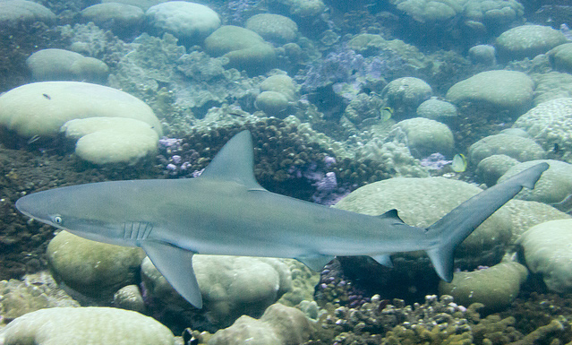 Dusky Sharks are one casualty of the commercial fishing industry. From Clifton Beard.